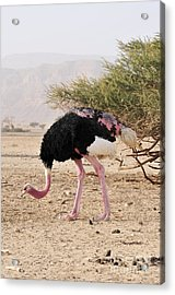 Ostrich On A Nature Reserve, Israel Acrylic Print by PhotoStock-Israel