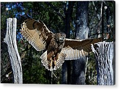 Owl In Flight Acrylic Print by Paulette Thomas