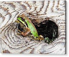 Pacific Chorus Frog Acrylic Print