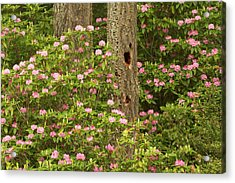 Pacific Coast Rhododendron Acrylic Print by William Sutton