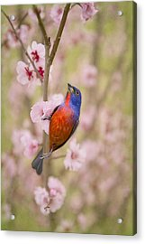Painted Bunting In Spring Acrylic Print by Bonnie Barry
