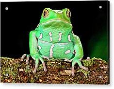 Painted Monkey Frog, Phyllomedusa Acrylic Print by David Northcott