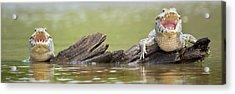 Pantanal Caiman, Pantanal Wetlands Acrylic Print by Panoramic Images