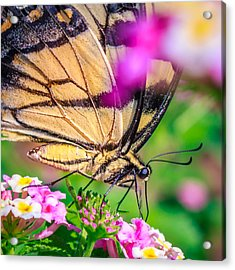 Acrylic Print featuring the photograph Papilio Glaucus by Rob Sellers