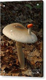Parasol Mushroom Macrolepiota Sp Acrylic Print by Susan Leavines