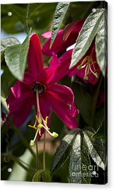 Passion Flower Passiflora Antioquiensis Acrylic Print by Dr. Keith Wheeler