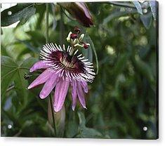 Passion Flower (passiflora Caerulea) Acrylic Print