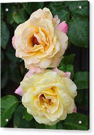Peace Roses Acrylic Print