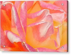 Peachy Pink Rose Acrylic Print by Virginia Forbes