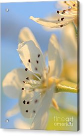 Acrylic Print featuring the photograph Pear Blossom by Rebeka Dove