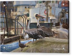 Pelican Duo Acrylic Print by Donna Greene