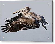 Pelican In Flight Acrylic Print by Paulette Thomas