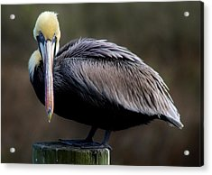 Pelican  Acrylic Print by Paulette Thomas