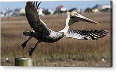 Pelican Take Off Acrylic Print by Paulette Thomas
