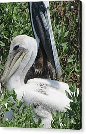 Pelicans Of Beacon Island 2 Acrylic Print by Cathy Lindsey