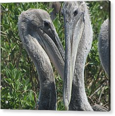 Acrylic Print featuring the photograph Pelicans Of Beacon Island by Cathy Lindsey