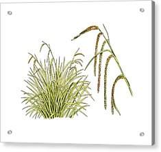 Pendulous Sedge (carex Pendula) Acrylic Print by Science Photo Library