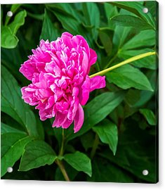 Peony Acrylic Print by Steve Harrington