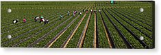 People Picking Strawberries In A Field Acrylic Print by Panoramic Images