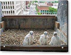 Peregrine Falcon Chick Acrylic Print