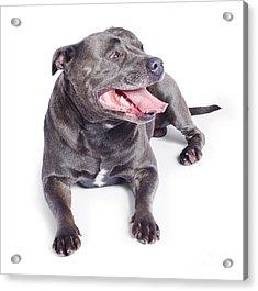 Pet Dog Isolated On White Background Acrylic Print