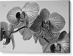 Phalaenopsis Orchid Acrylic Print