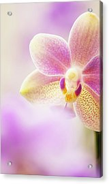 Phalaenopsis Tzu Chiang Balm 'ot0076' Orchid Acrylic Print by Maria Mosolova/science Photo Library