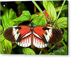 Piano Key Butterfly Acrylic Print by Millard H. Sharp