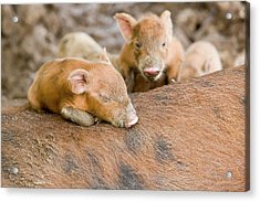 Pigs Reared For Pork On Tuvalu Acrylic Print by Ashley Cooper