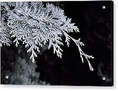 Pine Needles Acrylic Print by Christopher Lugenbeal
