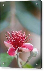 Pineapple Guava (feijoa Sellowiana) Acrylic Print by Maria Mosolova