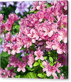 Pink And Blue Rhododendron Acrylic Print by Frank Tschakert