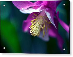Pink And White Columbine Flower Acrylic Print by RM Vera