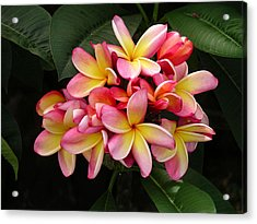 Pink And Yellow Plumeria Acrylic Print