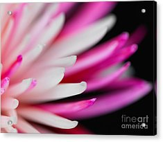 Pink Chrysanthemum Flower Isolated On Black Background. Macro  Acrylic Print