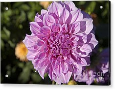 Pink Dahlia Acrylic Print by Peter French