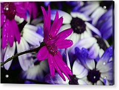 Pink Flower Acrylic Print by Barbara Walsh