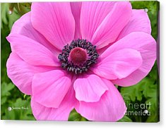 Acrylic Print featuring the photograph Pink Flower by Jeannie Rhode
