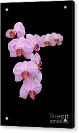 Pink Orchids Acrylic Print by Tom Prendergast