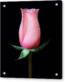 Pink Rosebud Acrylic Print by Carol Welsh