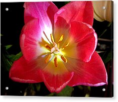 Pink Tulip Acrylic Print by Virginia Forbes
