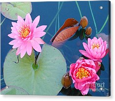 Pink Water Lilies Acrylic Print by Charlotte Gray