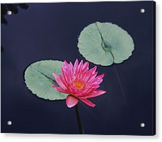 Pink Water Lily Two Pads Acrylic Print by Tom Wurl