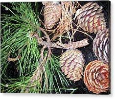 Pitch Pine Cone Acrylic Print by Susan Carella