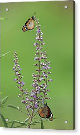 Plain Tiger Butterfly Acrylic Print