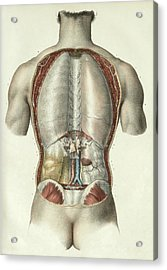 Pleura And Peritoneum Acrylic Print by Science Photo Library