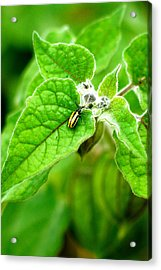 Acrylic Print featuring the photograph Poha Berry Beetle by Lehua Pekelo-Stearns
