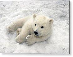 Polar Bear Cub Playing In Snow Alaska Acrylic Print by Mark Newman