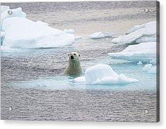 Polar Bear Acrylic Print by John Devries/science Photo Library