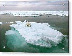 Polar Bear Standing On A Ice Floe Acrylic Print by Peter J. Raymond